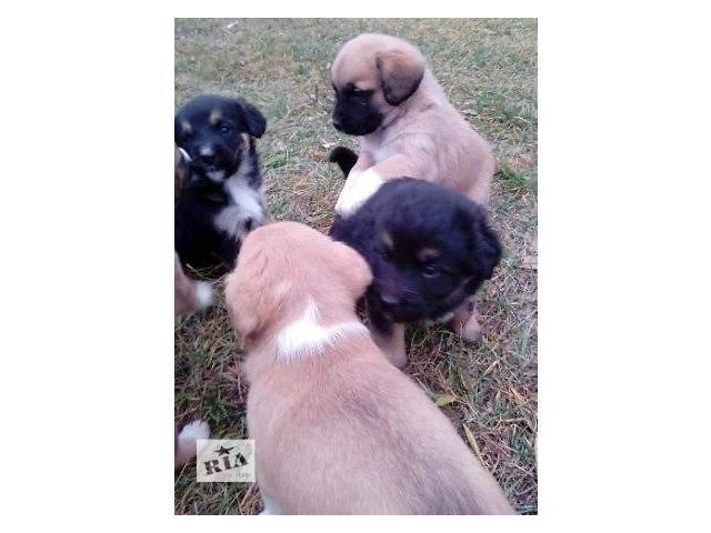 Щенки-карапузы,чудесные маленькие щеночки - объявление о продаже  в Киеве