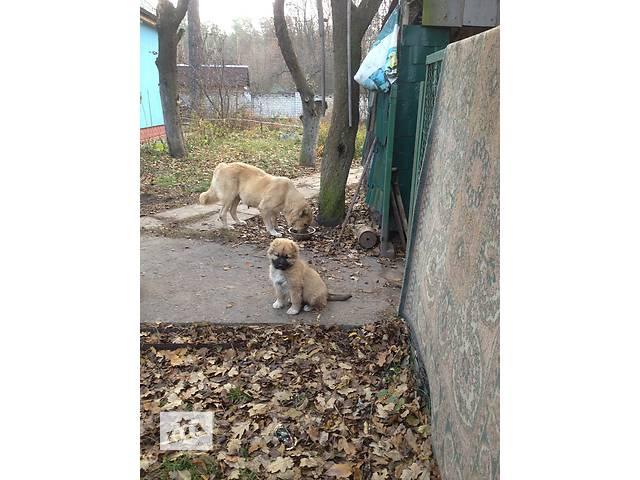 купить бу щенки КАВКАЗКОЙ овчарки в Киеве
