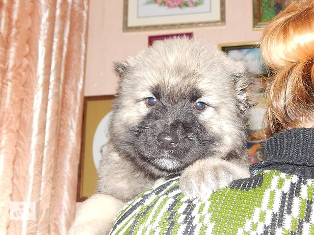 продам щенки КАВКАЗКОЙ овчарки бу в Яготине
