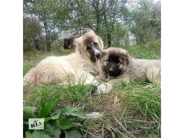 купить бу Щенки кавказской овчарки в Киеве