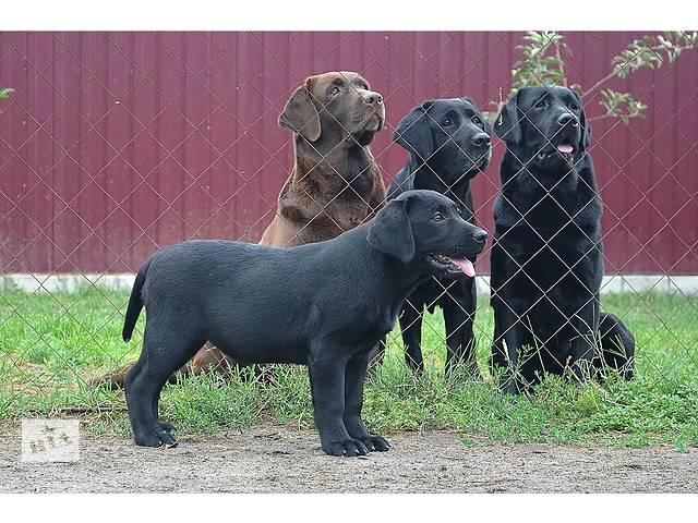 купить бу  щенки лабрадора в Киеве