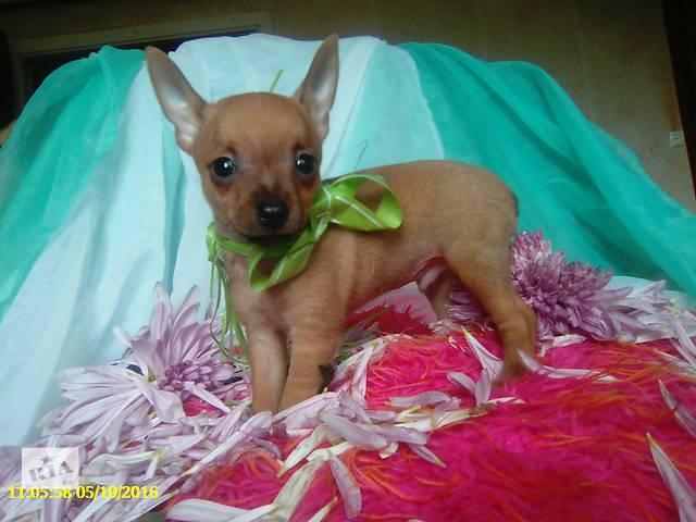 купить бу щенки минитой терьера в Лисичанске