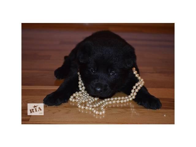 купить бу щенки немецкой овчарки рабочего разведения в Днепре (Днепропетровск)