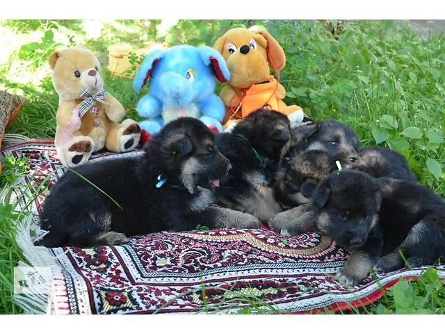 купить бу Щенки немецкой овчарки с документами (цуценя німецької вівчарки) в Виннице