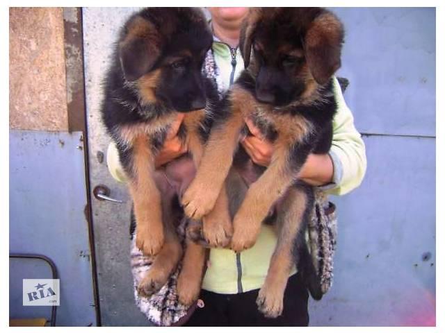 купить бу Щенки немецкой овчарки в Запорожье