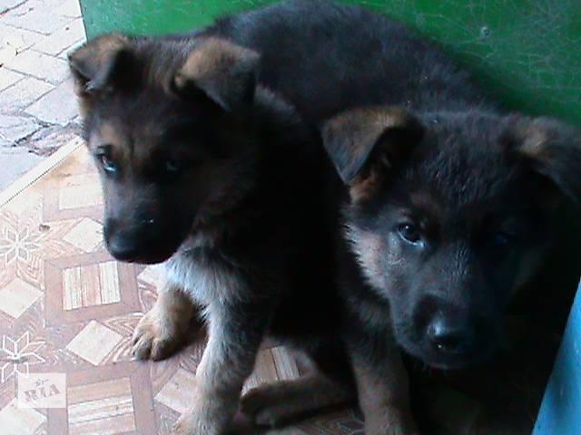 продам щенки немецкой овчарки бу в Лисичанске