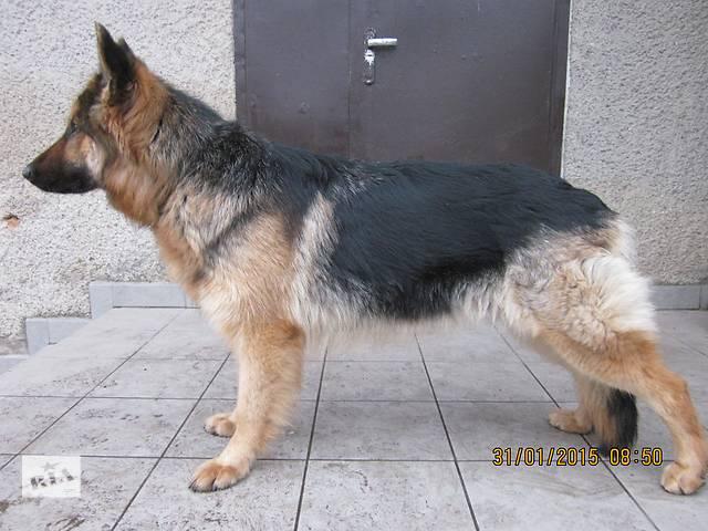 продам щенки Немецкой Овчарки бу в Житомире
