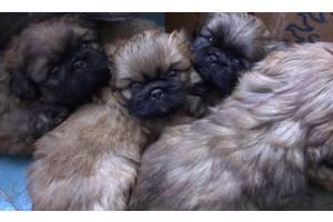 Продам щенков королевского пекинеса