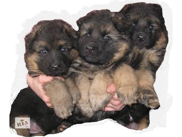щенки питомника POLIS DOG  Винница- объявление о продаже  в Виннице