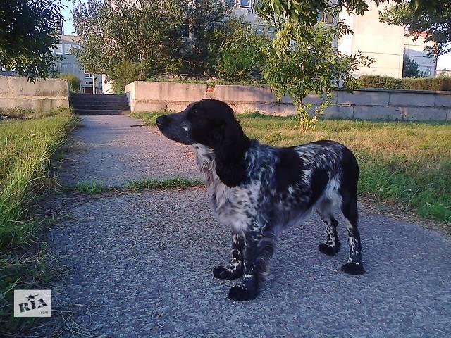 купить бу щенки русского спаниеля в Березане