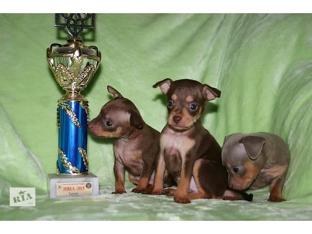 купить бу щенки той-терьера,шикарного выставочного качества в Черкассах