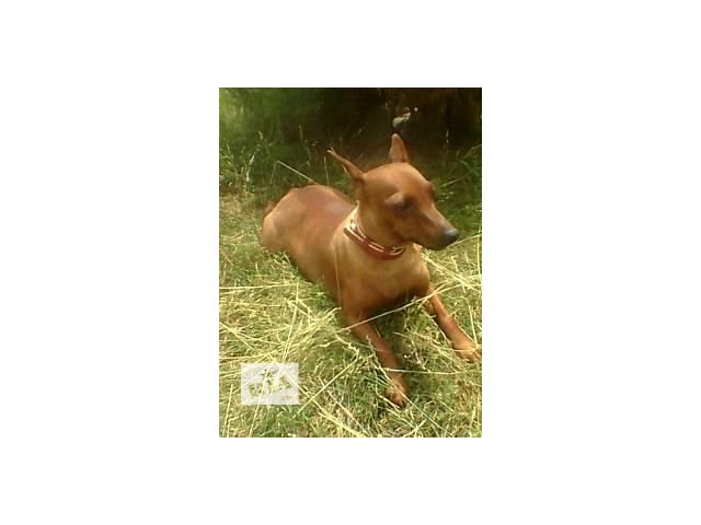 купить бу щенки цвергпинчера в Виннице