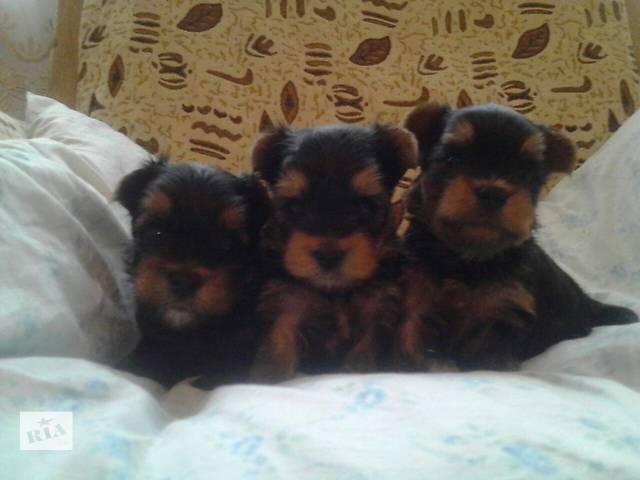 купить бу щенки йоркширского терьера в Черновцах