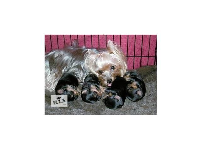 щенки йорки- объявление о продаже  в Днепре (Днепропетровск)
