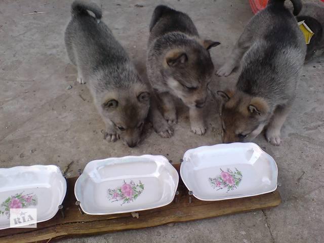 бу Щенки Западно-сибирской лайки цуценята в Хмельницком
