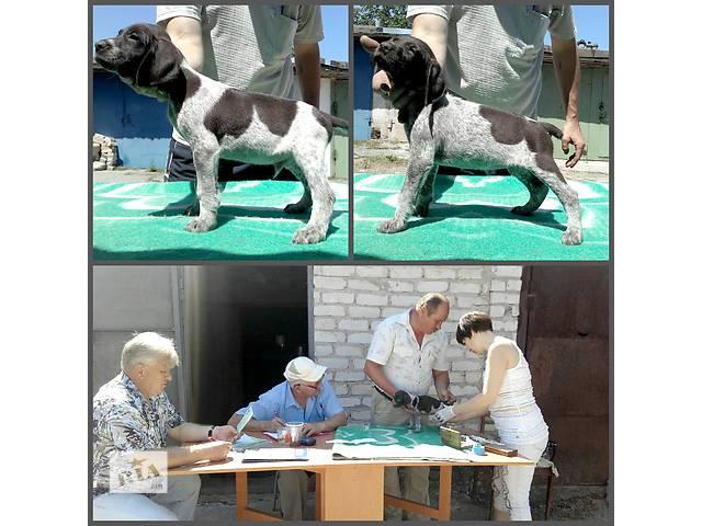 бу Курцхаар курцхар щенки недорого с документами в Николаеве