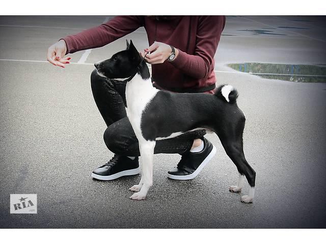продам Щенок басенджи - африканской нелающей собаки бу в Киеве