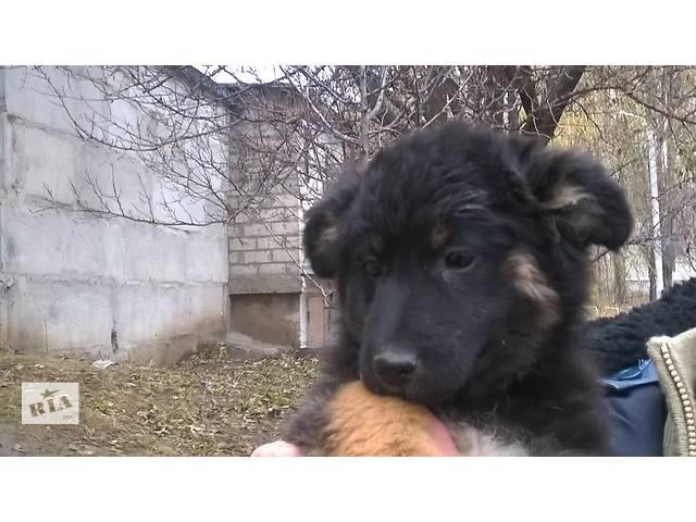 бу Щенок-будущая охранница ищет дом в частном секторе в Харькове