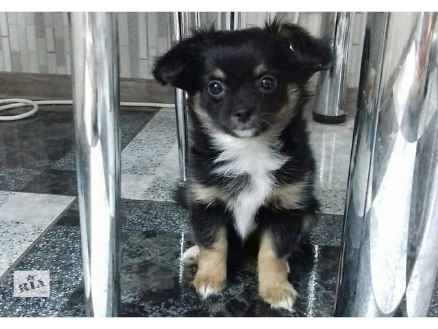 купить бу щенок чихуахуа, мальчик в Хмельницком