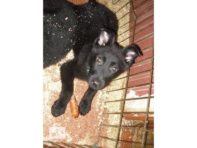 продам Щенок немецкая овчарка, черного окраса бу в Киеве