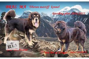Тибетский мастиф мальчик