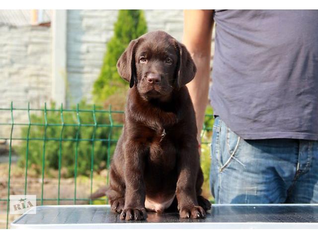 продам Шоколадные щенки лабрадора! бу в Харькове
