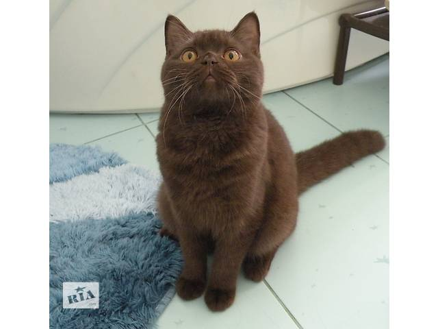 Шоколадный котик скоттиш страйт- объявление о продаже  в Новой Каховке