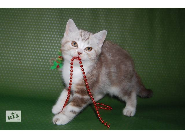 бу шоколадный мраморный котик в Николаеве