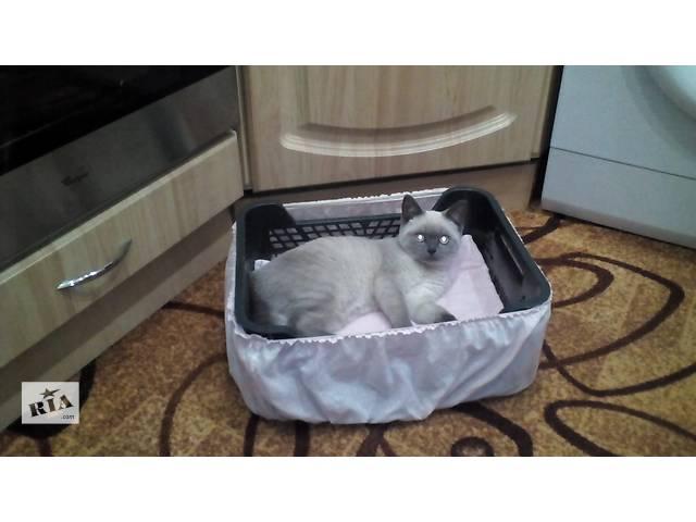 продам шотландське кошеня бу в Сторожинце