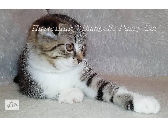 бу Шотландские котята окраса табби в Днепре (Днепропетровск)