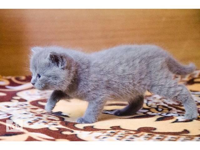 Шотландская кошка- объявление