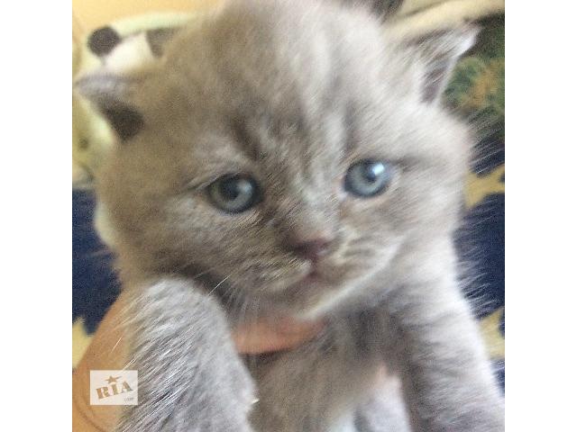бу Шотландская кошка в Ужгороде
