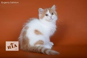 Шотландская кошка Хайленд-страйт (прямоухая длинношерстная)
