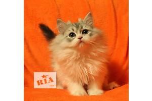 Шотландская кошка Хайленд-страйт (прямоухая длинношерстная) мальчик