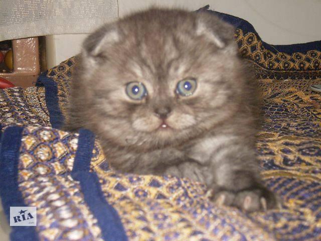 продам Шотландская кошка Шотландская вислоухая (Скоттиш-фолд) бу в Днепре (Днепропетровске)