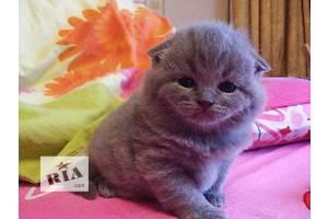 Шотландская кошка Шотландская вислоухая (Скоттиш-фолд)