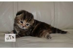 Шотландская кошка