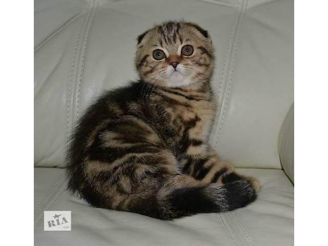 Шотландская кошка Шотландская вислоухая (Скоттиш-фолд) девочка- объявление о продаже  в Киеве