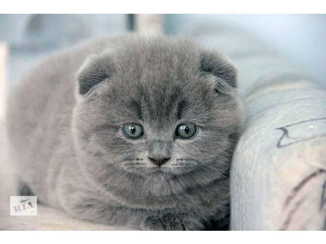 продам Шотландская кошка Шотландская вислоухая (Скоттиш-фолд) девочка бу в Донецке
