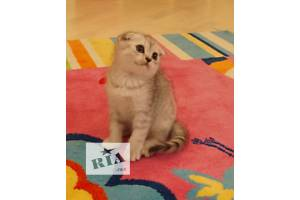 Шотландская кошка Шотландская вислоухая (Скоттиш-фолд) мальчик