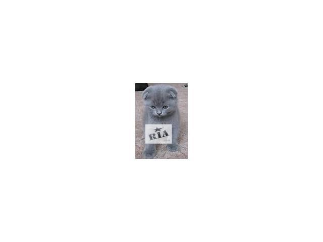 продам Шотландская кошка Скоттиш-страйт (прямоухая). Скотиш-фолд (вислоухая) бу в Донецке