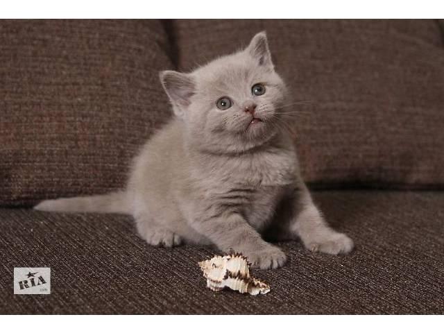 британские лиловые котята 3 месяца фото #10