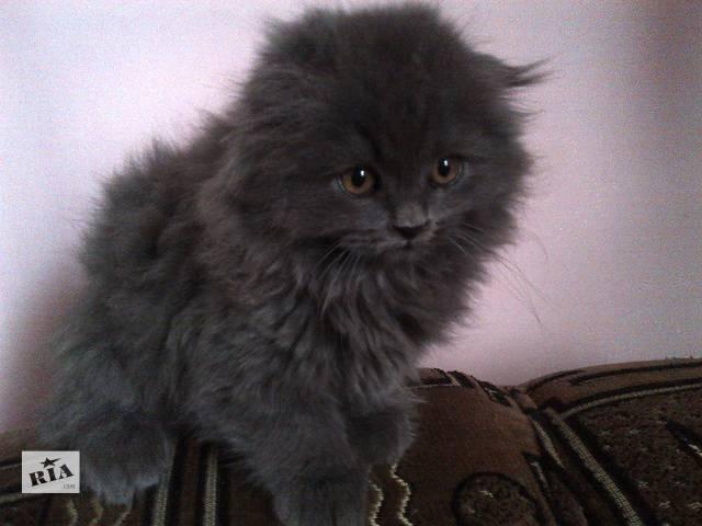 продам Шотландский вислоухий котенок (мальчик) 2 мес. бу в Калуше
