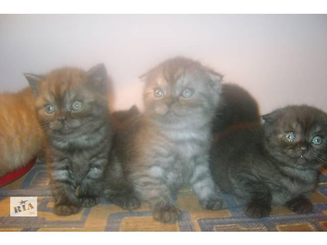 купить бу Шотландские котята в Львове