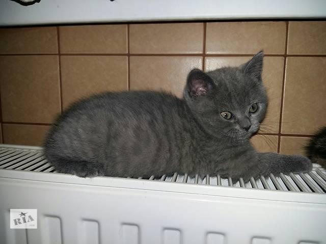 купить бу Шотландские котята-девочки страйт в Виннице