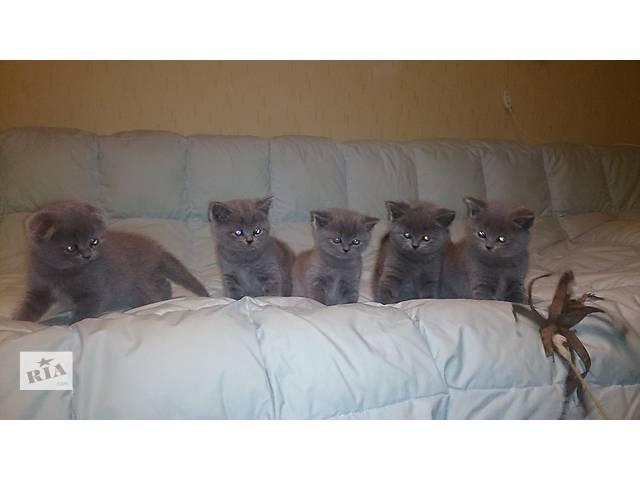 бу Шотландские котята красавцы классического голубого окраса в Запорожье