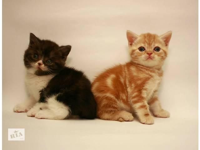 Шотландские котята . Мальчик и девочка- объявление о продаже  в Киеве