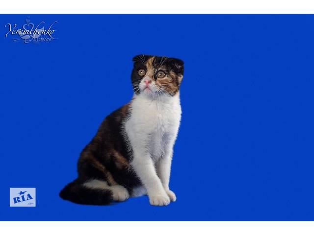 Шотландские котята нарядных окрасов- объявление о продаже  в Донецке