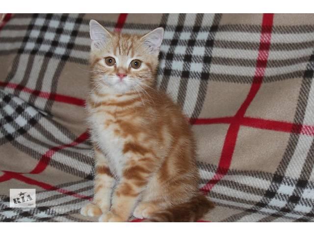 купить бу Шотландские котята нарядных окрасов в Донецке