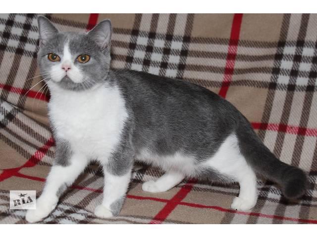 продам Шотландские котята от родителей-чемпионов бу в Донецке